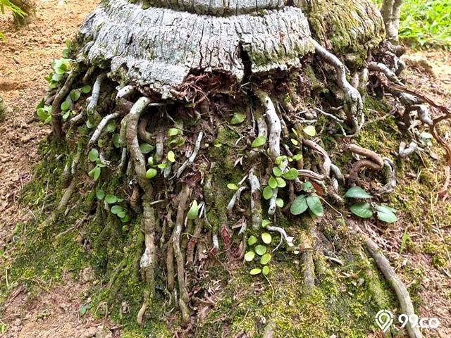 kegunaan akar pohon kelap