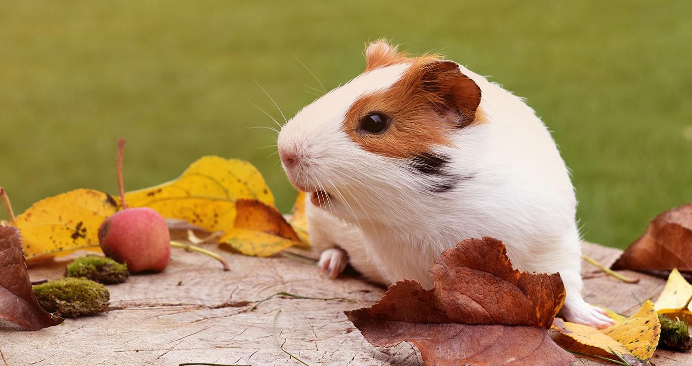 Ketika membeli, pilih guinea pig yang sehat.