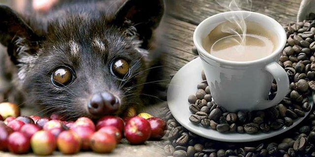Manfaat kopi luwak asli