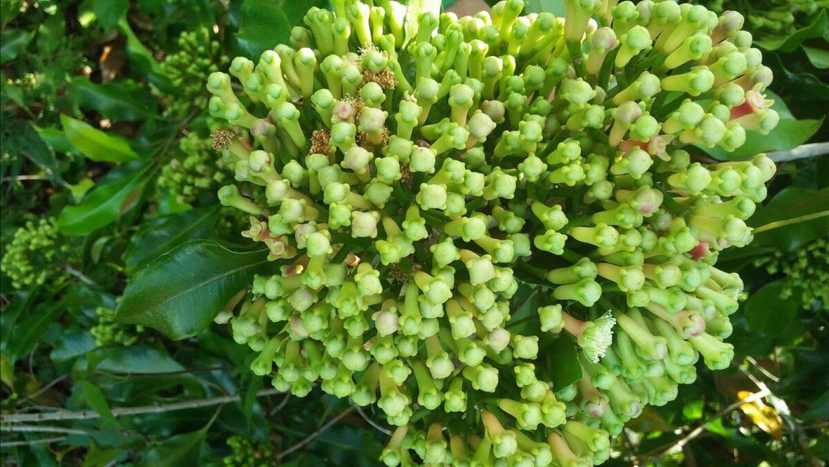 pohon cengkeh berbuah lebat